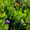 180  G Tiger Lily V
