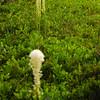 567  G Bear Grass V
