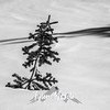 42  G Snowy Tree BW