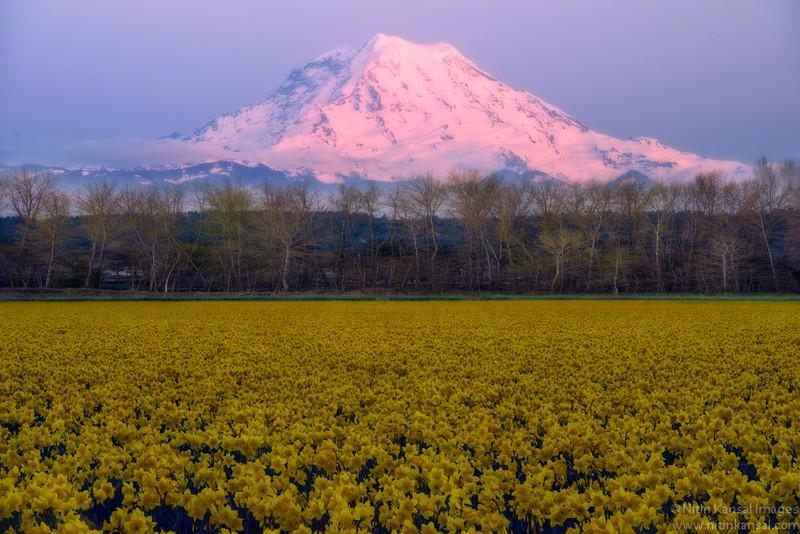 Mt Rainier with Daffodils