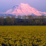 Mt Rainier with Daffodils