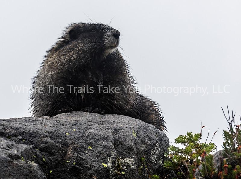 55.  Marmot