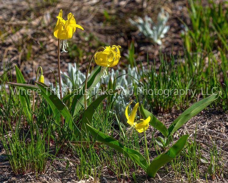 63.  Three Little Glacier Lilies