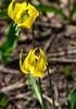 81.  Glacier Lilies