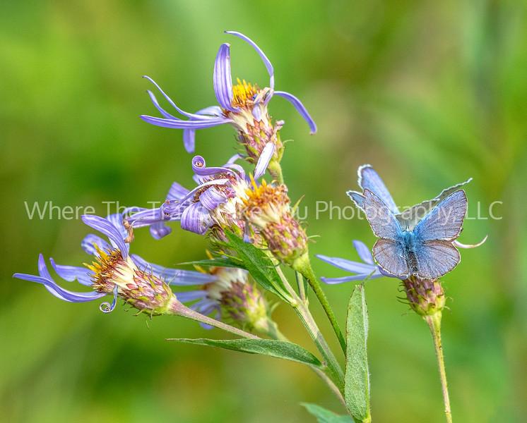 273. Two Anna's Blue Butterflies