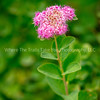 37.  Rosy Spiraea