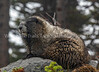 56.  Marmot