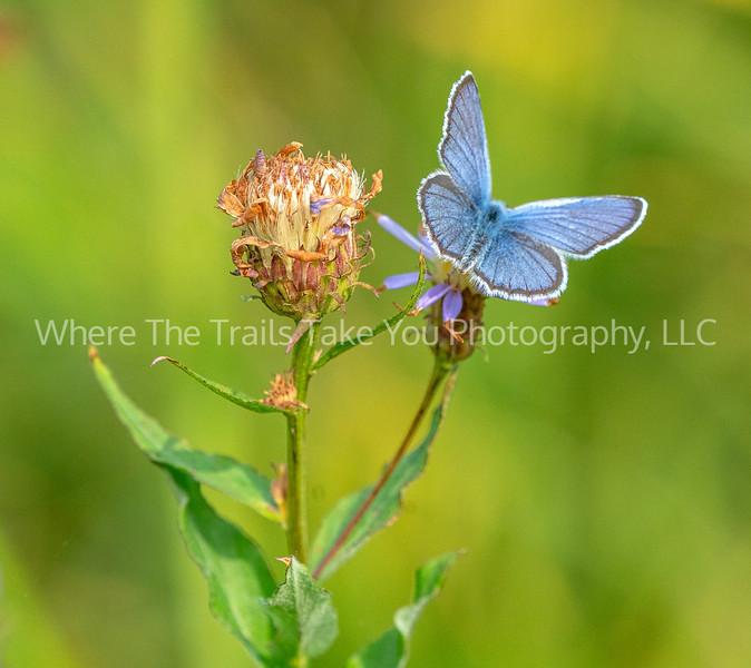 274. Anna's Blue Butterfly