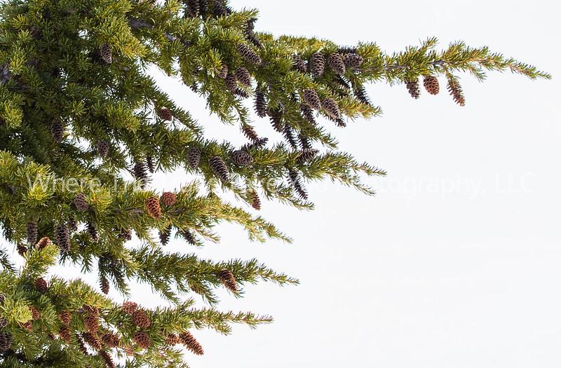 32  Pine Cones and Conifer