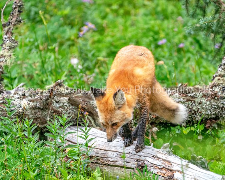 266. Little Red Fox On A Log
