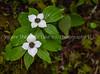 170. Dwarf Dogwood aka Bunchberry