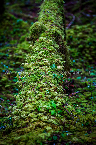 24  Tree Trunk Cover, Mt. Rainier National Park, WA