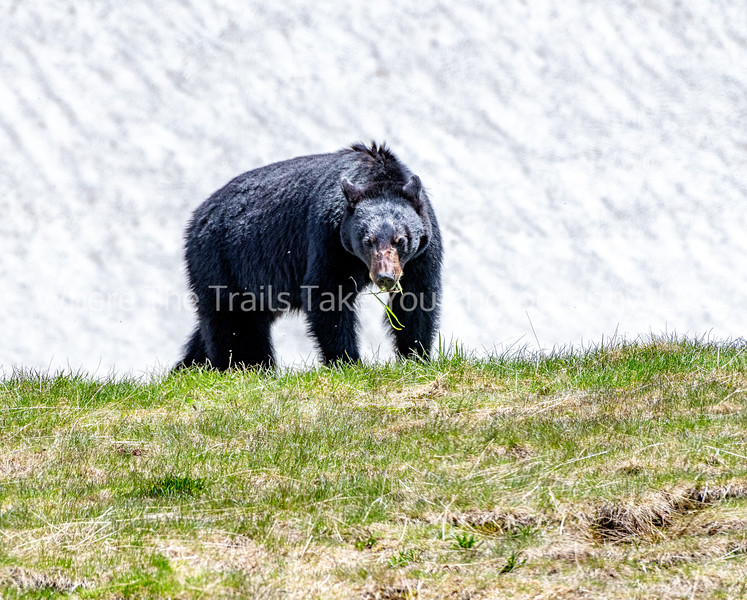 194. Black Bear