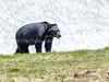 193. Black Bear