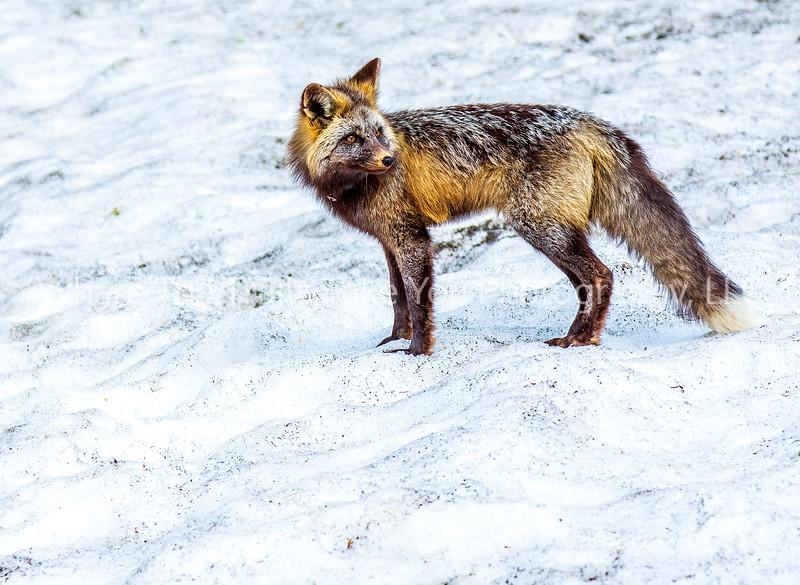 26.  Pretty Little Fox