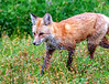 267. Fox On The Run