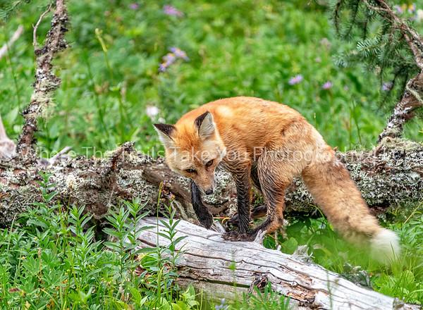 265. Little Red Fox On A Log