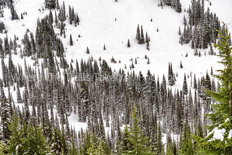 Ski Tracks And Pointy Trees