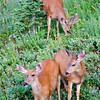 485  G Deer Eating V