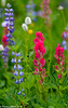 Mt Rainier Wildflowers 07-2015