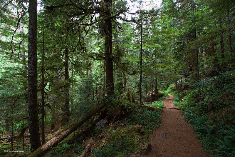 Getting lost in the trees, Mt. Rainier park