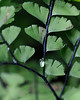 Fern Leaves 2