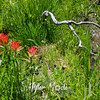 79   G Indian Paintbrush and Branch