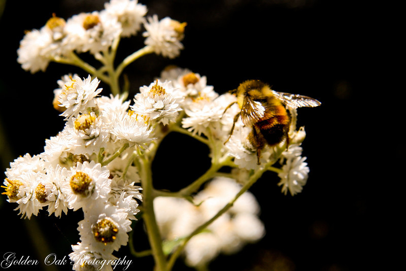 In August, even though spring just started, bees know winter will soon arrive and are busy stocking up on pollen.