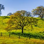 Spring Oaks Along the Green Hills.  San Francisco Bay Area.