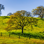 Spring Oaks Along the Green Hills.  San Francisco Bay Area.