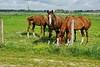 Paarden in het Munnikenland