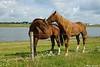 Horses in Munnikenland