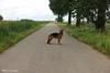 Pimmie op de weg in het mland