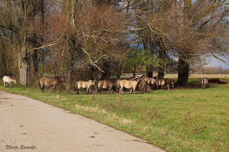 Konik horses at Munnikenland