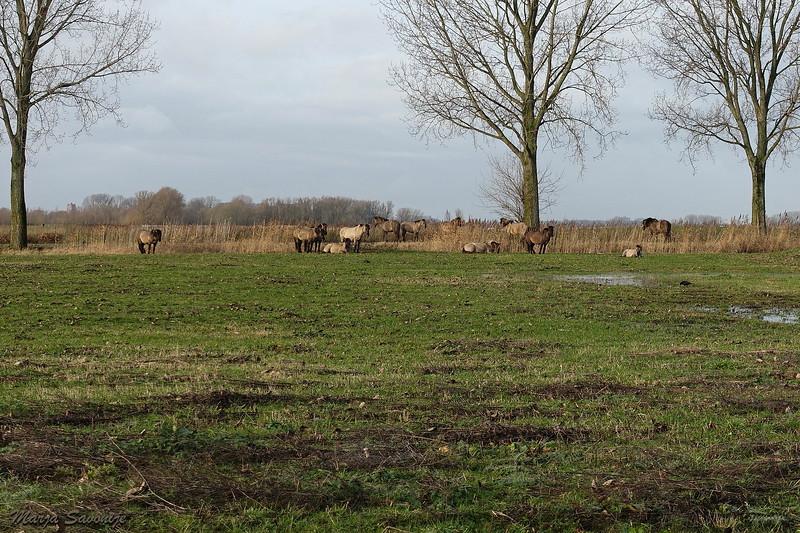 De Konik paarden staan langs de Wakkere Dijk