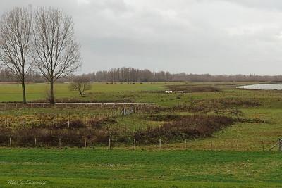 Rode Geuzen grazen achterin op de grote wei