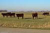 Groepje stieren