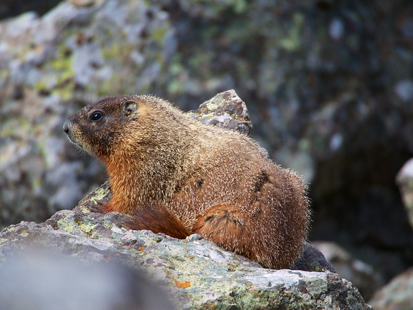Marmot in Yellowstone 2