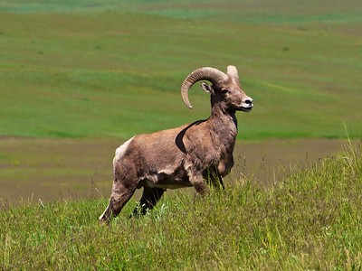 Big Horn Sheep close up