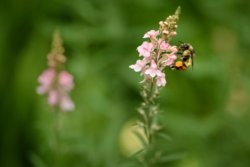 Bee collecting Veronica pollen