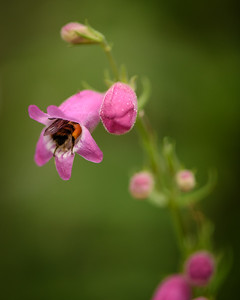 Bee visiting Penstemon