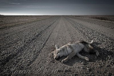A Coyote's Misfortune on a Country Road