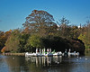 Saltwell Park Swans and Gulls a