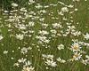 Birdseye daisies, Newbiggin