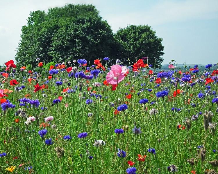 Wild flowers in Great Lumley July 2013