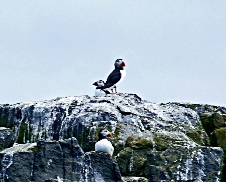 puffin on the Farne Islands
