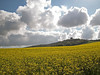 Penshaw Monument from a field of rape seed
