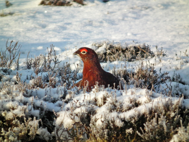 A grouse playing hide and seek