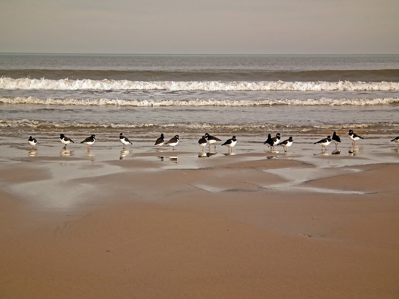 Oystercatchers at Steetley Hartlepool 5