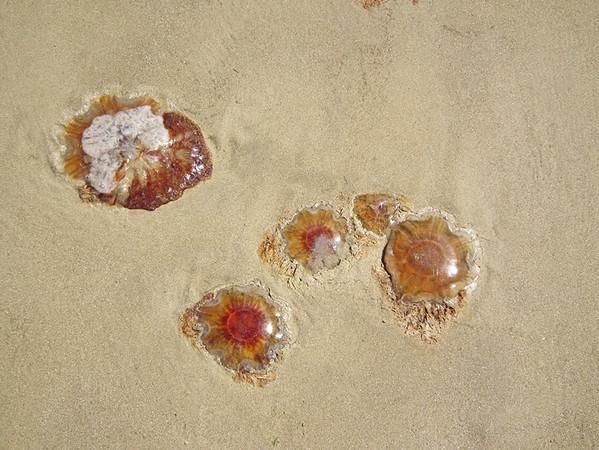 Jellyfish at Crosby, Merseyside